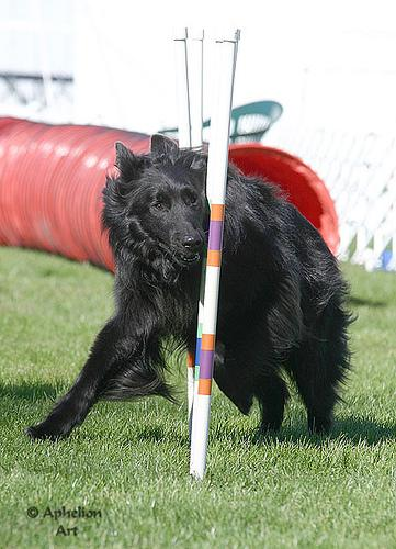 A picture of a great dog from the Dog CEO API